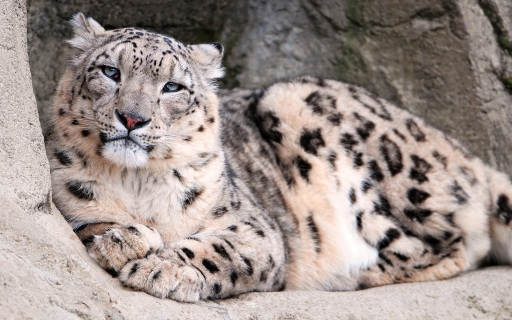 Snow-Leopard-Zoo