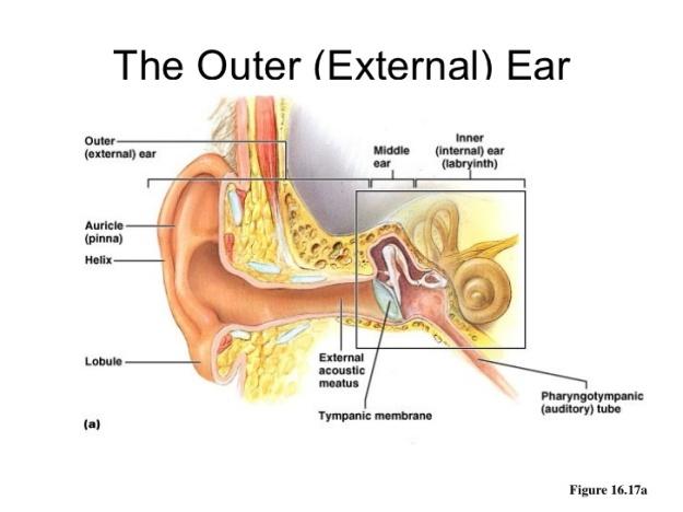 ear-anatomy-3-728.jpg
